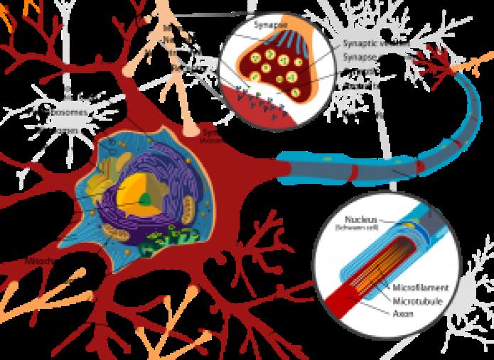 Representación_esquematica_de_las_partes_de_una_neurona