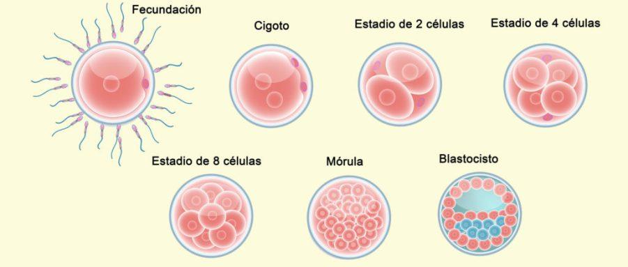 Fases_Desarrollo_Embrionario_Maria_Iranzo_Biotec