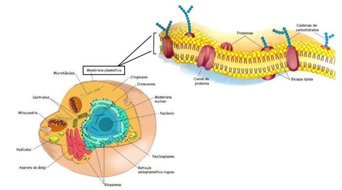 Membrana_Celular_Nanoesferas_Transporte_Antibioticos_