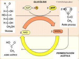 Kombucha_BioProductos_Biotecnologia_Maria_Iranzo_Biotec