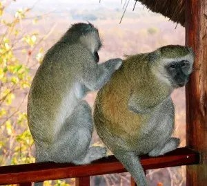 monkey_original