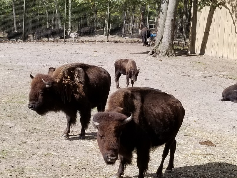 bison at six flags great adventure