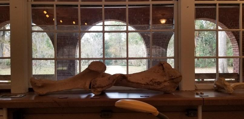 Mastodon leg bones at the lab in Wakulla Springs, Florida