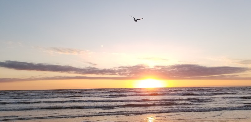 Seagull flying at sunrise, Padre Island National Seashore