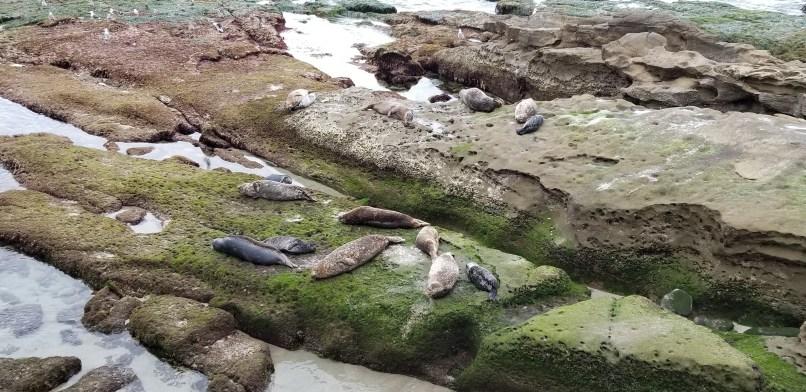 Seals lying on grassy rock in La Jolla Cove Children's Pool, California