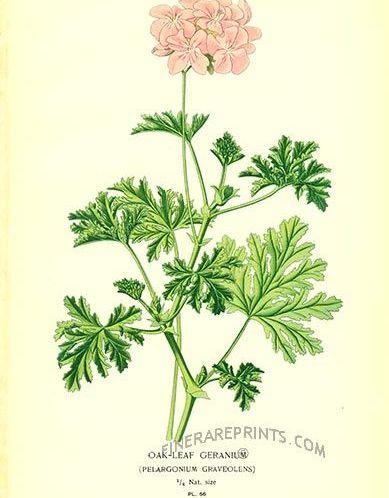 Ingeniøfruen-om-eterisk-olje-av-geranium-i-aromaterapien