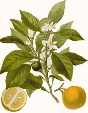 Aromaterapi. Essensiell-olje-av-Petitgrain