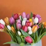 Tulipaner – slik kuttes og vannes de