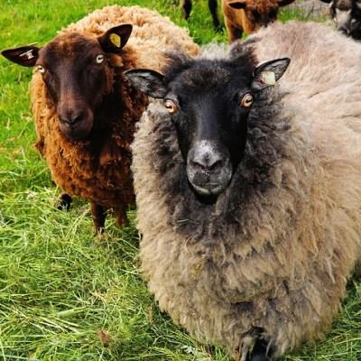 Fårikål med internasjonal vri på fårikålens dag