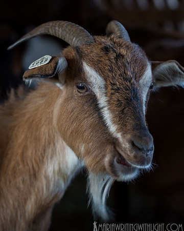 martha's vineyard photography, rebecca brown consulting goat
