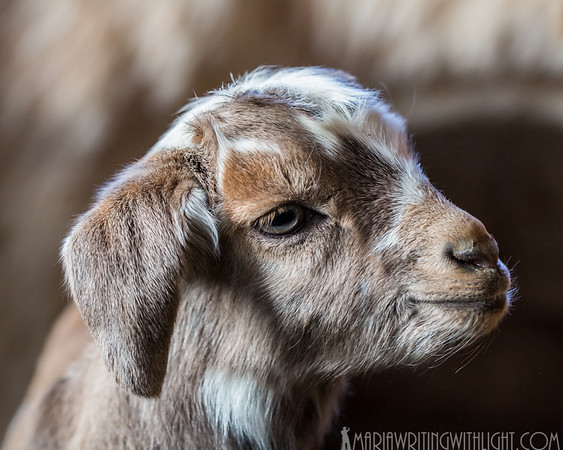 martha's vineyard photography, springtime goats