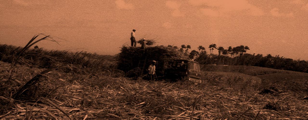 cane sugar harvest barbados