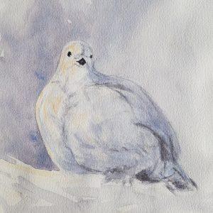 Ripa, snow grouse