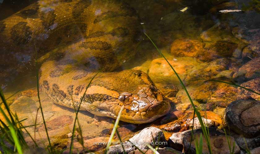 Brésil, anaconda, région du Mato Grosso do Sul © Marie-Ange Ostré