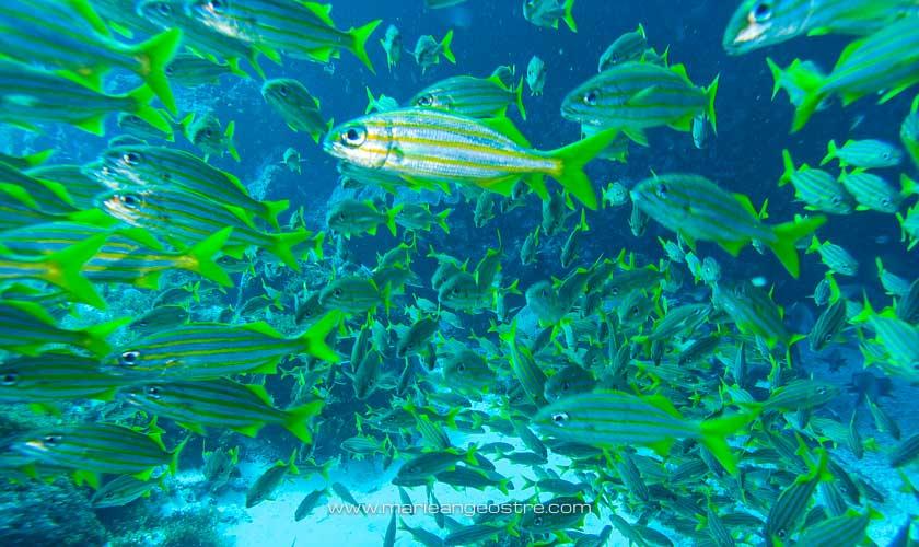 Brésil, plongée Fernando de Noronha banc lutjans © Marie-Ange Ostré