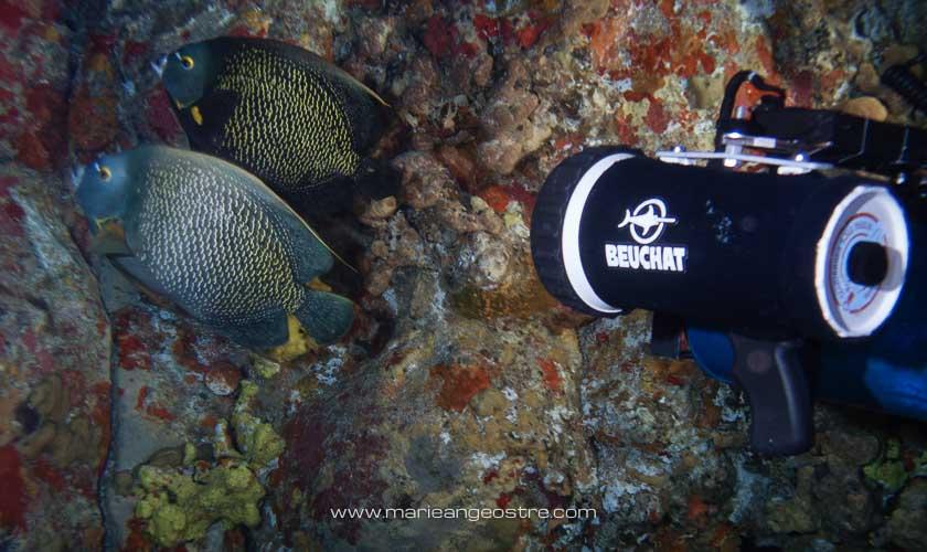 Brésil, plongée Fernando de Noronha poissons anges © Marie-Ange Ostré