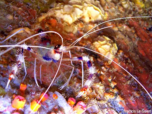 Seychelles, crevette Stenopus en plongée de nuit © Francis Le Guen