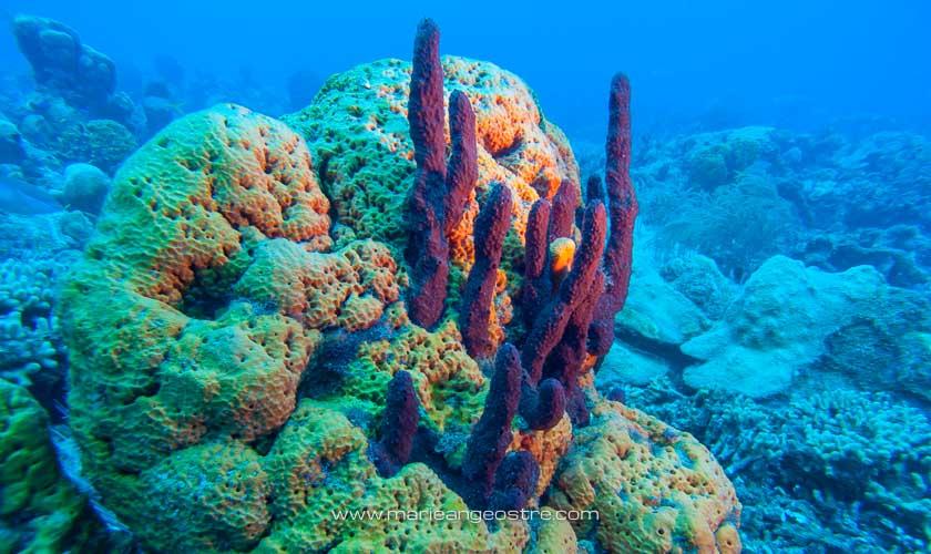 Guadeloupe, en plongée dans la réserve marine Cousteau © Marie-Ange Ostré