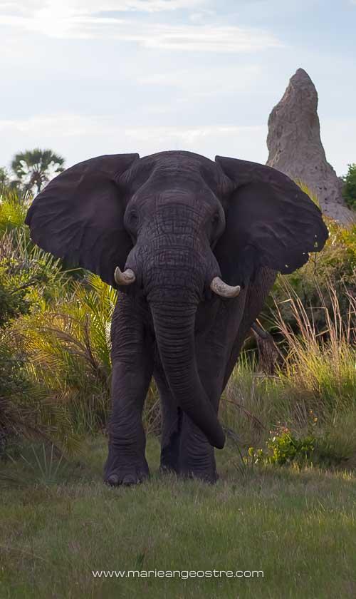 Botswana, charge d'éléphant sauvage dans le delta de l'Okavango © Marie-Ange Ostré