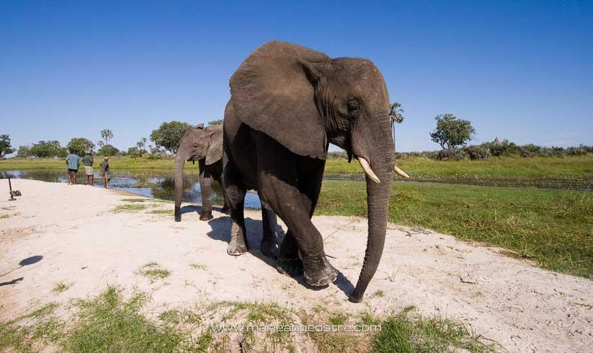 Botswana, éléphants dans le delta de l'Okavango © Marie-Ange Ostré