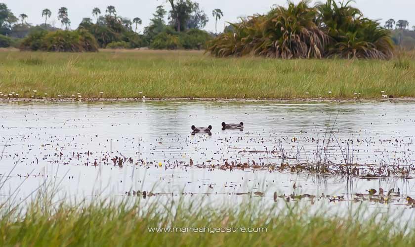 Botswana, hippopotames du delta de l'Okavango © Marie-Ange Ostré