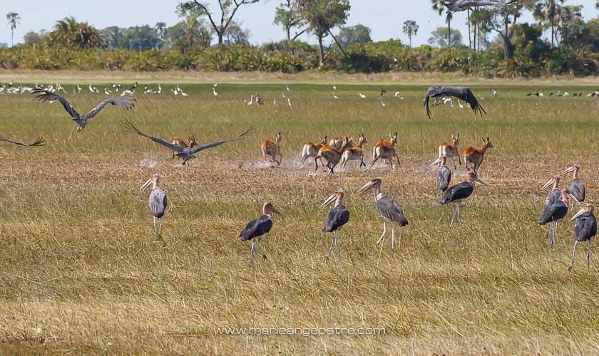 Botswana, marabouts dans le delta de l'Okavango © Marie-Ange Ostré