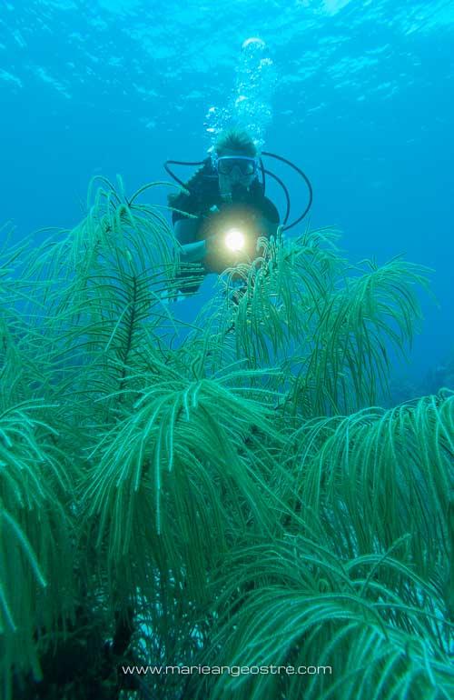 Guadeloupe, sur le site de plongée Jardin de Corail © F Le Guen