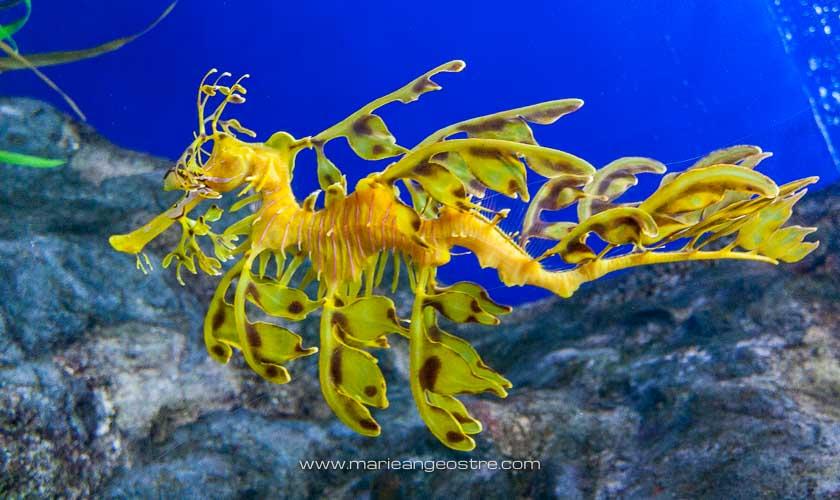 Singapour, hippocampe feuillu (aquarium Sentosa) © Marie-Ange Ostré