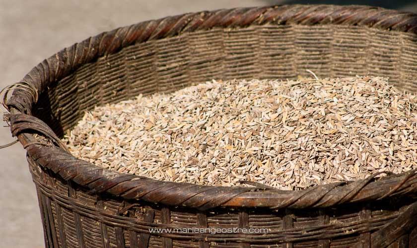 Chine, panier de riz dans rizières en terrasses de Longsheng province du Guangxi © Marie-Ange Ostré