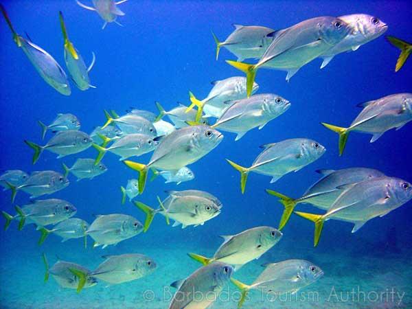 Dans les eaux de la Barbade