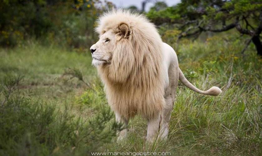 South Africa, white lion (Afrique du Sud, lion blanc) © Marie-Ange Ostré