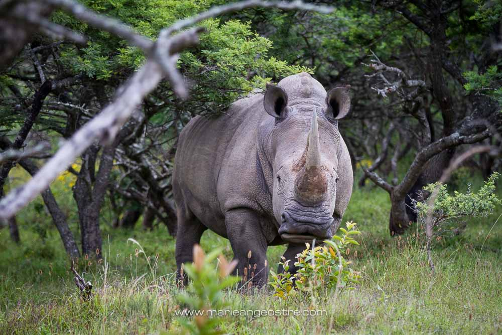 South Africa, wild white rhino (rhinocéros blanc) © Marie-Ange Ostré