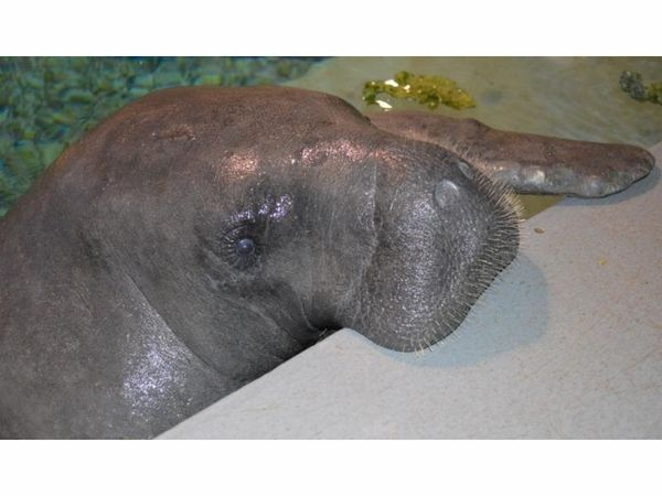 Snooty, Worlds Oldest Manatee Dies