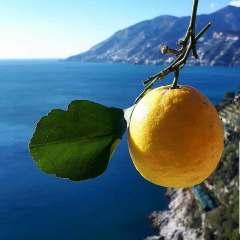 citronnier plante mer citron