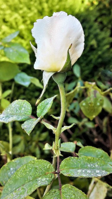 White rose tradition