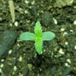 White Widow Seedling