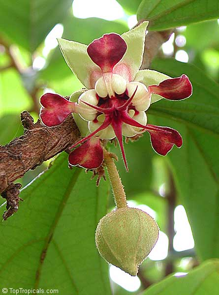 flordocupuaçu