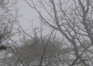 Heron on it's nest