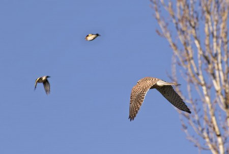 Sparrow hawk & Goldfinches