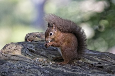 Red Squirrel at Brownsea Island.