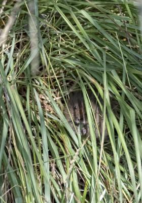 Water Vole baby munching grass