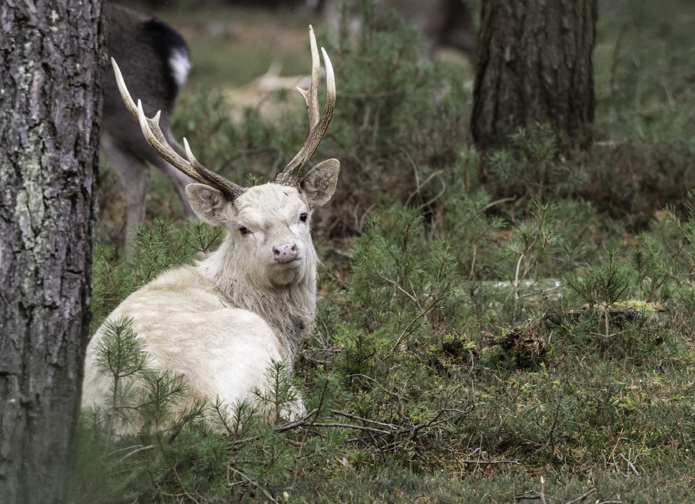 Sika Stag: Diary/ Notes