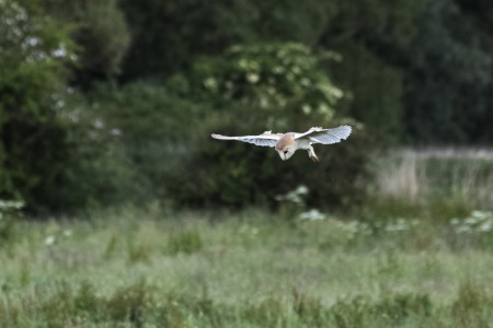 From archive: Barn owl