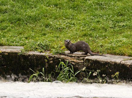 Otter-1