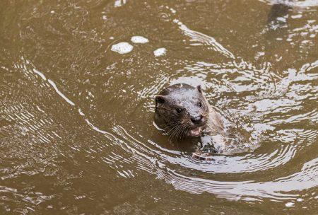 Otter-10