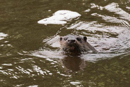 Otter-6