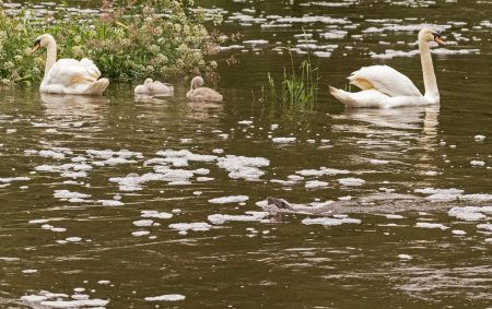 Otter fishing with Swans behind