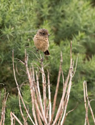 Stonechat_young
