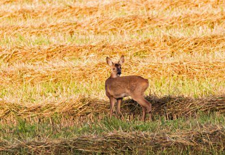 Roe-Deer doe