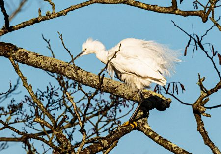 Little Egret up a tree